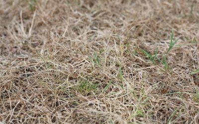 Patch of brown grass dying in a drought